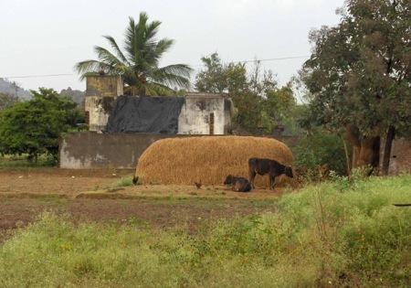 Haystack and cows