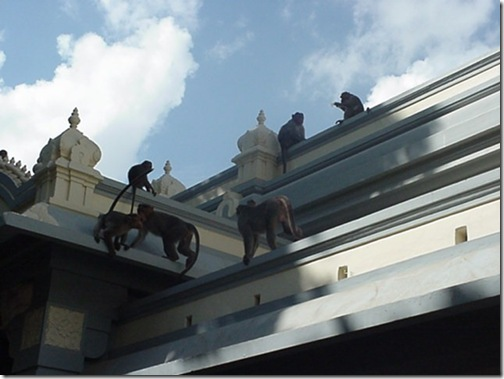 more monkeys on roof