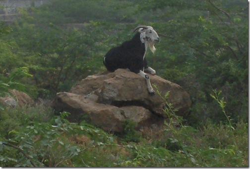 King Goat