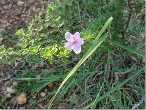 Arunachala flowers 137