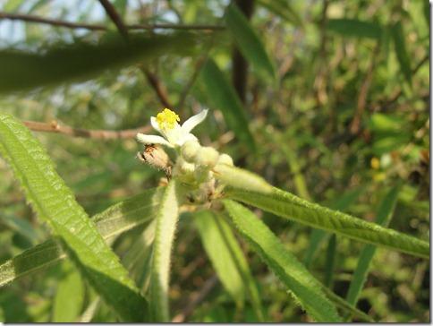 Arunachala flowers 155