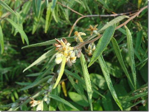 Arunachala flowers 156