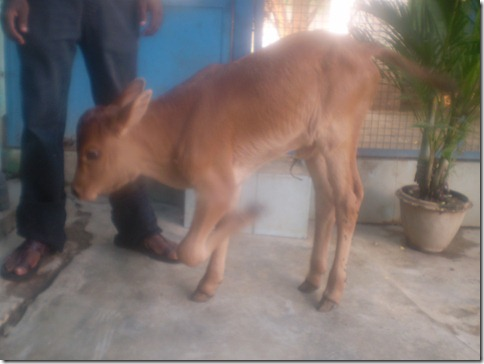 3 calf B--(a)before