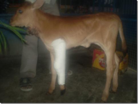 3A calf B  after