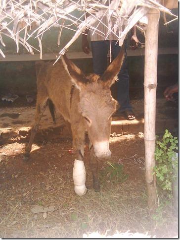 6A donkey B after