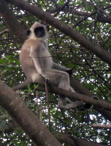 Langur Monkey in Sonagiri Forest