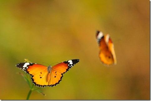 Butterflies-Lubricated-FLight-light-485x728
