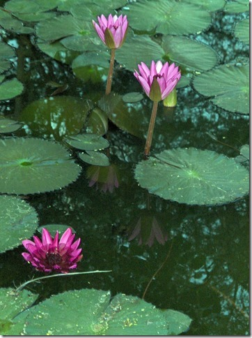 Lillies in Arunachala pond